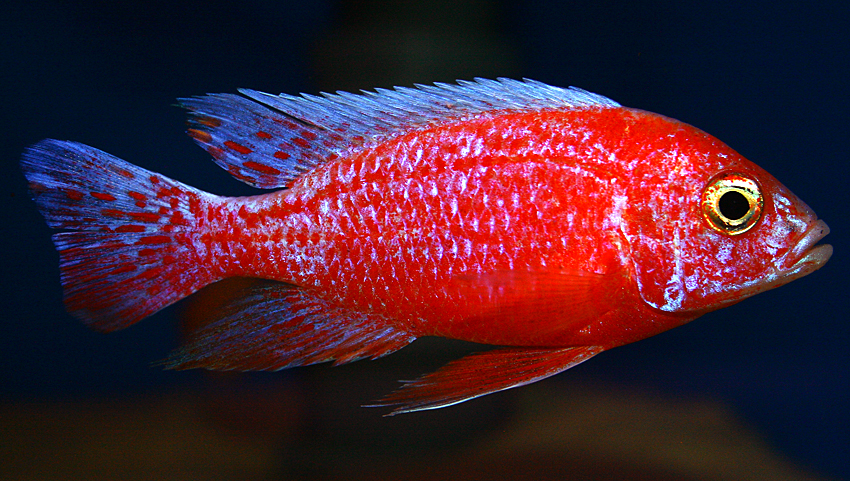 "Aulonocara firefish ""Coral Red"" 2013"