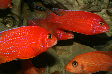 "Aulonocara firefish ""Coral Red"""