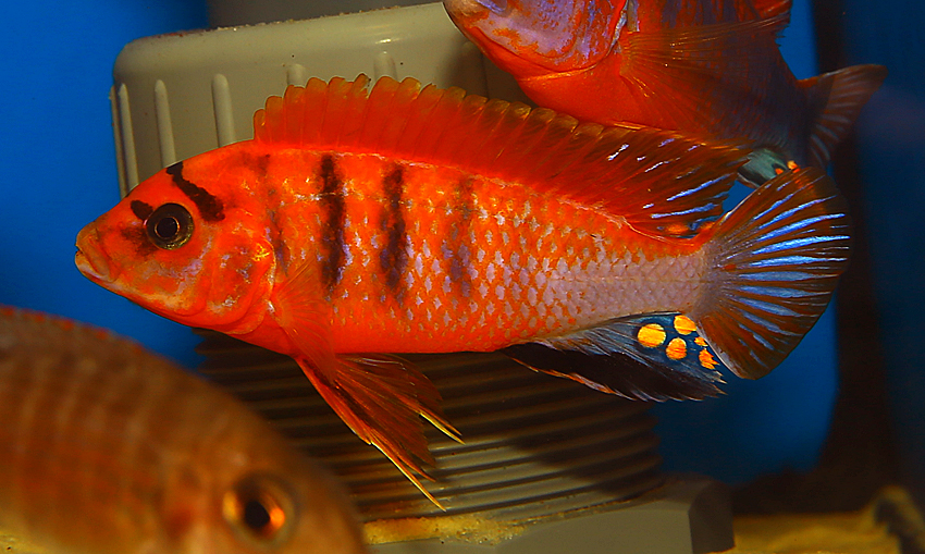 Labidochromis red top Schweden (Red Top Deluxe)