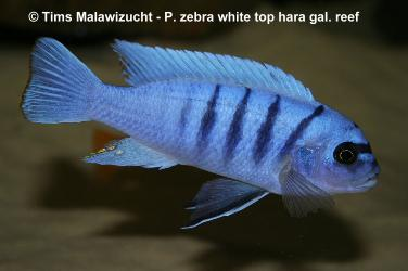 Pseudotropheus zebra white top Galileya reef