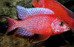 Aulonocara firefish Coral Red