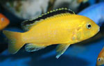 Labidochromis caeruleus yellows